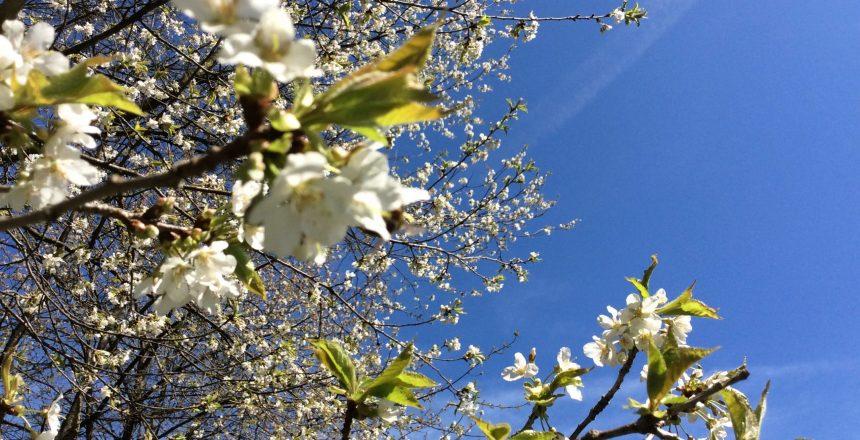 Kirschblüten_2